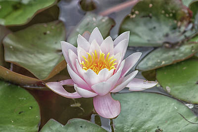 Lilies Royalty-Free and Rights-Managed Images - Water Lily by Martin Newman