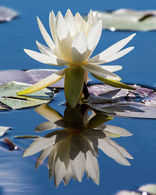 Art Print featuring the photograph Water Lily by Mary Hone