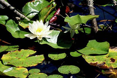 Print featuring the photograph Water Lily by Meta Gatschenberger