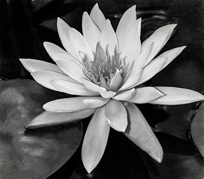 Photograph - Water Lily Monochrome by Teresa Wilson