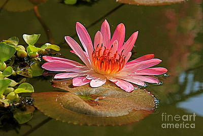 Art Print featuring the photograph Water Lily by Nicola Fiscarelli