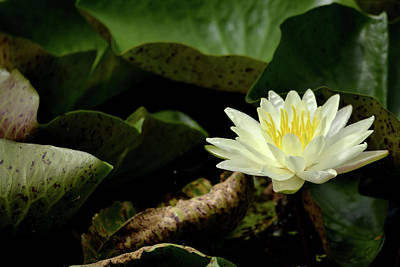 Photograph - Water Lily On Dark Leaves by Nadalyn Larsen