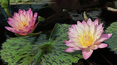 Photograph - Water Lily Pair by Harold Rau