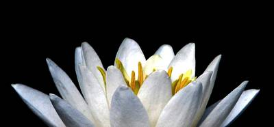Photograph - Water Lily Petals by Angela Davies