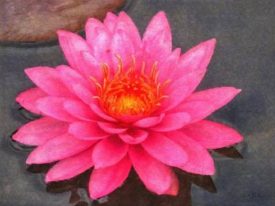 Painting - Water Lily Pink Percussion by Sandy MacGowan