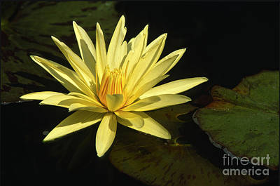 Photograph - Water Lily by Sandra Bronstein