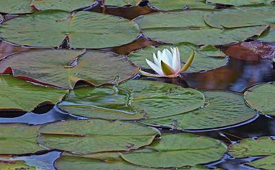 Water Lily Scene Art Print by Bill Chambers