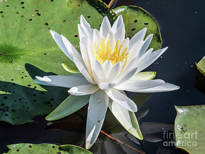 Photograph - Water Lily by Scott and Dixie Wiley