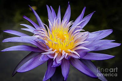 Photograph - Water Lily Spiky And Purple by Sabrina L Ryan
