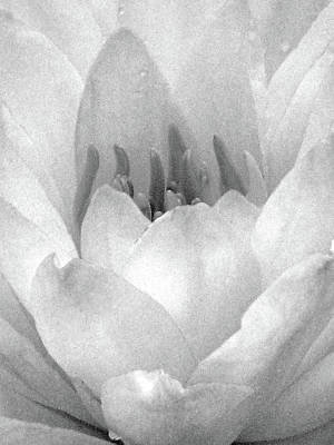 Photograph - Water Lily - Sunday Surprise 01 - Bw - Water Paper by Pamela Critchlow