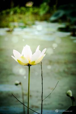 Photograph - Water Lily by Teresa Blanton