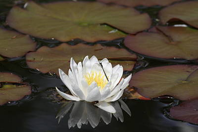 Photograph - Water Lily Two Again For A Time by Liz Marr