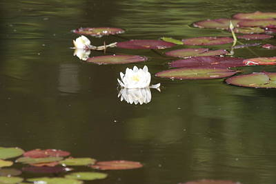 Photograph - Water Lily Two For A Moment by Liz Marr