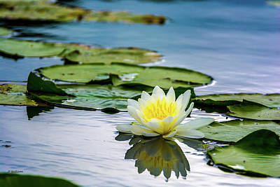 Photograph - Water Lily White Yellow 3 by Pamela Williams