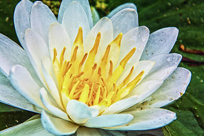 Photograph - Water Lily White Yellow 4 by Pamela Williams