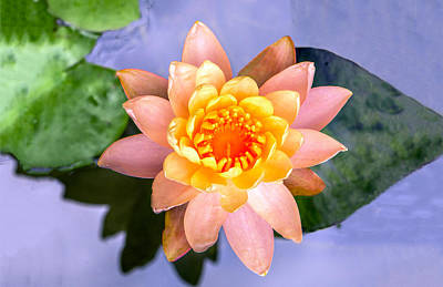 Photograph - Water Lily by William Bitman