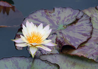 Photograph - Water Lily With Golden Center by John Lautermilch