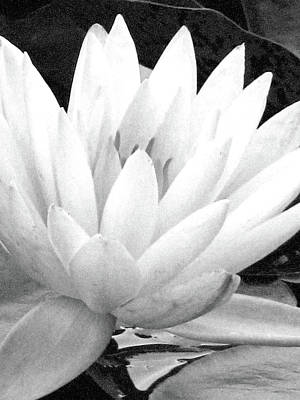 Photograph - Water Lily - Yellow - Bw - Water Paper by Pamela Critchlow