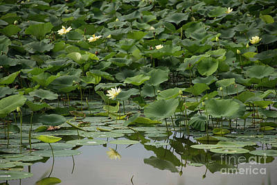 Photograph - Water Lotus 2 by David Bearden