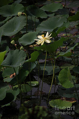 Photograph - Water Lotus 4 by David Bearden