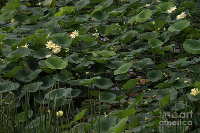 Photograph - Water Lotus 5 by David Bearden