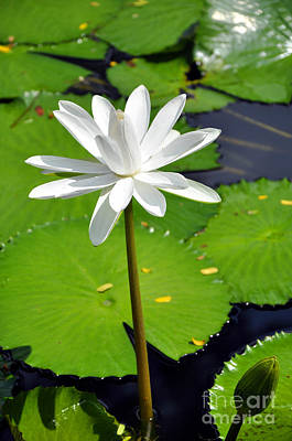 Photograph - Water Lotus by Andrew Dinh