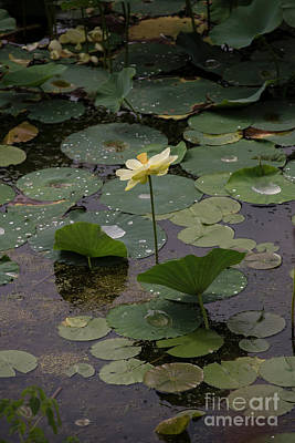 Photograph - Water Lotus by David Bearden