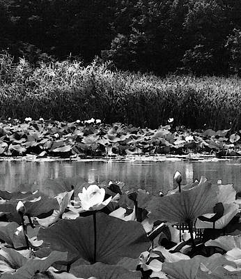 Photograph - Water Lotus Garden Bw by Shawna Rowe
