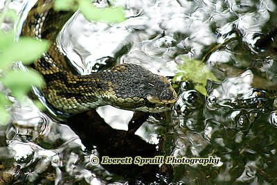 Natuure Photograph - Water Moccasin - Wekiva Springs Fl by Everett Spruill
