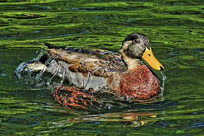 Photograph - Water Off A Ducks Back 2 by HH Photography of Florida