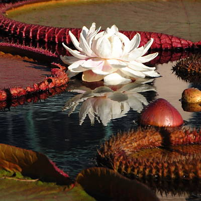 Photograph - Water Platters And Lily by Jacqueline M Lewis