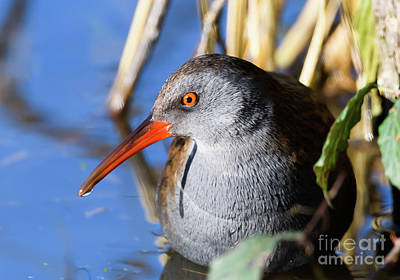 Photograph - Water Rail by Colin Rayner