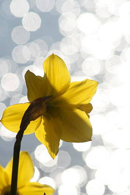 Water Reflected Daffodil Art Print by Karla DeCamp