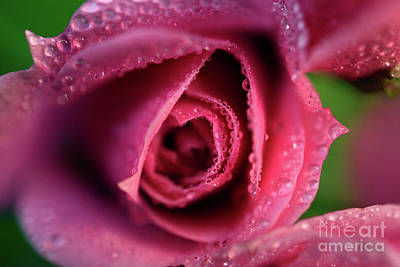 Photograph - Water Soaked Pink Rose 2 by Terry Elniski