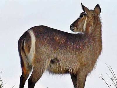 Photograph - Waterbuck by Gini Moore