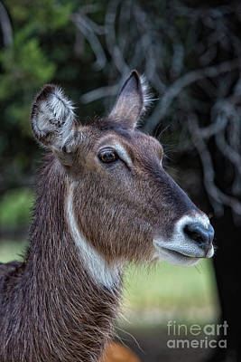 Photograph - Waterbuck Portrait V2 by Douglas Barnard