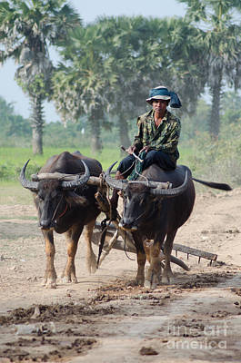 Waterbuffalo Driver Returns With His Animals At Day's End Art Print