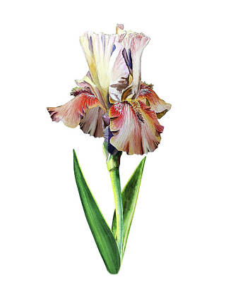 Painting - Watercolor Iris by Irina Sztukowski