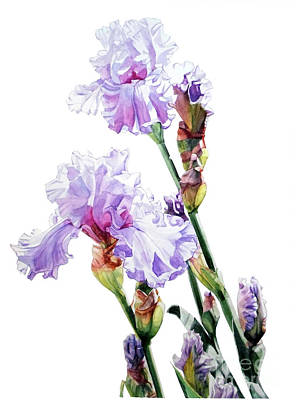Painting - Watercolor Of A Tall Bearded Iris I Call Lilac Iris Wendi by Greta Corens