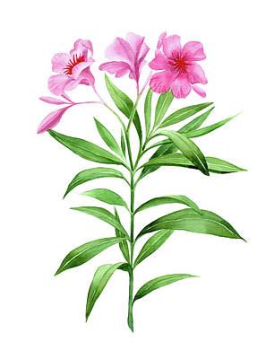 Rosebud Drawing - Watercolor Pink Oleander by Ekaterina Efanova