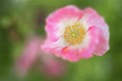 Pretty Pink Poppy Macro Photograph - Watercolor Poppy by Penny Meyers