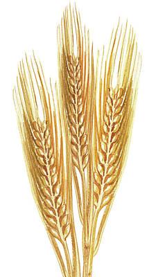Painting - Watercolor Wheat Illustration by Irina Sztukowski