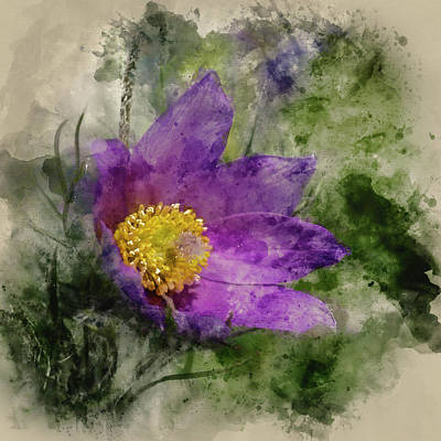 Pulsatilla Vulgaris Photograph - Watercolour Painting Of Pulsatilla Vulgaris Flower In Bloom by Matthew Gibson