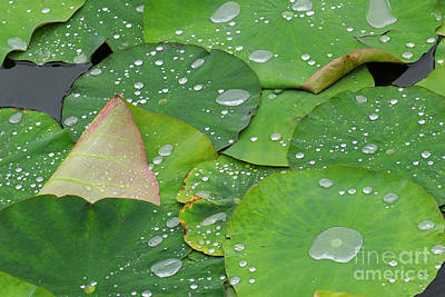 Close Up Photograph - Waterdrops On Lotus Leaves by Silke Magino