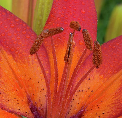 Watered Lily Art Print by Jean Noren