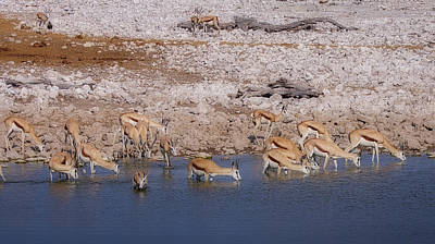 Photograph - Waterhole Springbok 2 by Ernie Echols