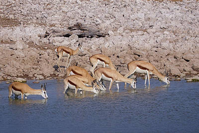 Photograph - Waterhole Springbok by Ernie Echols