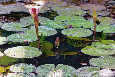 Photograph - Waterlilies 2 by Nadia Sanowar