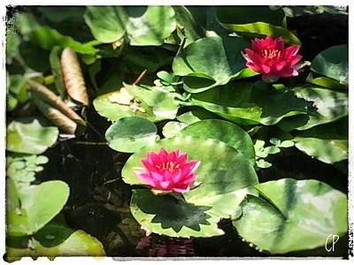 Photograph - Waterlilies by Christine Paris