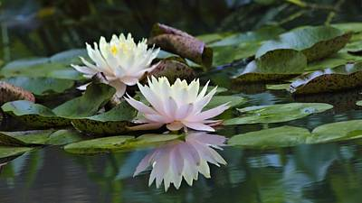 Photograph - Waterlilies by Katherine White